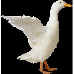 Autocollant Animaux Ferme Canard 1