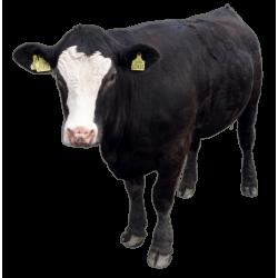Autocollant Animaux Ferme Vache 3