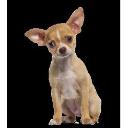 Autocollant Animaux Domestique Chien Chihuahua 1