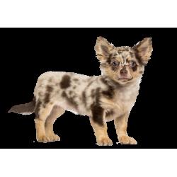 Autocollant Animaux Domestique Chien Chihuahua 2