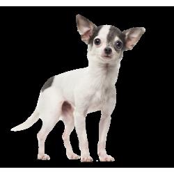 Autocollant Animaux Domestique Chien Chihuahua 3