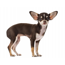 Autocollant Animaux Domestique Chien Chihuahua 4