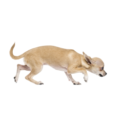 Autocollant Animaux Domestique Chien Chihuahua 7