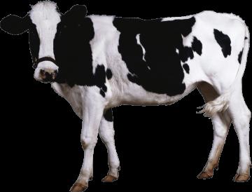 Autocollant Animaux Ferme Vache 2