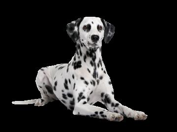 Autocollant Animaux Domestique Chien Dalmatien 4