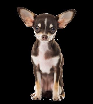 Autocollant Animaux Domestique Chien Chihuahua 5