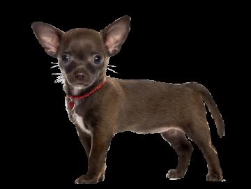 Autocollant Animaux Domestique Chien Chihuahua 6