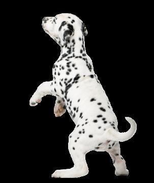 Autocollant Animaux Domestique Chien Dalmatien 5
