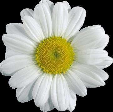 Autocollant Divers Fleur Maguerite