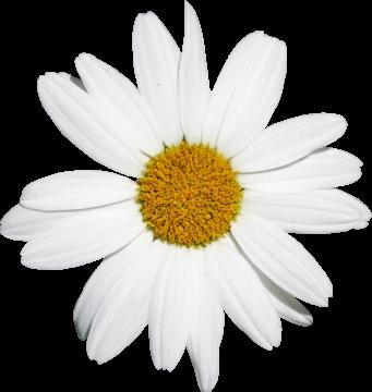Autocollant Divers Fleur Marguerite